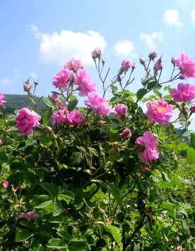 HANAオーガニック 薔薇 (1)