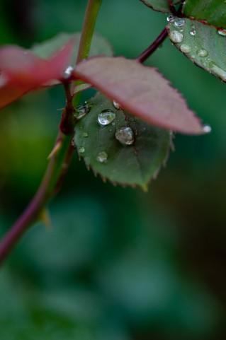 薔薇の葉と水分